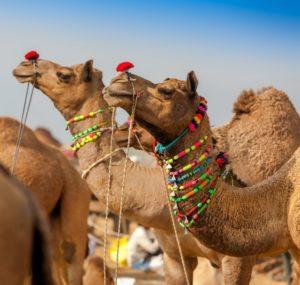 Изложение на камили, Пушкар