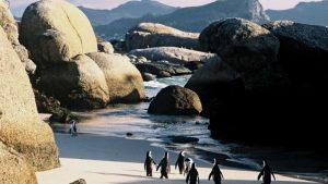 Африкански пингвини